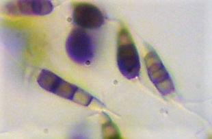A korallberkenye legveszélyesebb betegsége